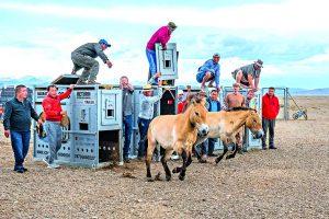 Koně v Mongolsku 1 Новости Чехии лошади Пржевальского