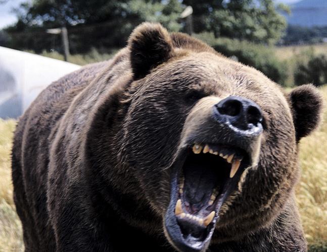 В лесах будут караулить волков и медведей
