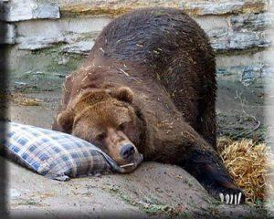 Medved Sleeping-Bear Новости Чехии Медведь