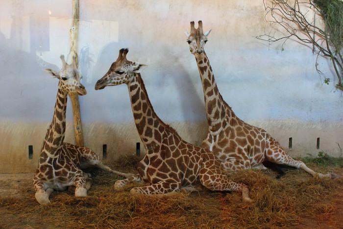 Praha Zoo Zyrafy День жирафа в зоопарке Йиглавы Чехия