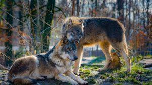 Volk Vlk V Cesku Волки в Чехии