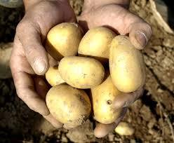 Brambory Ceske Новости Чехии картофельный праздник